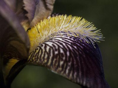 The Intricate Markings of a Purple Orchid Petal and Yellow Stamen, Australia