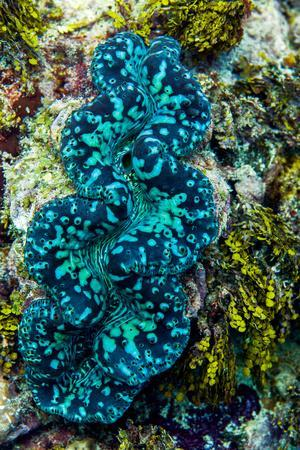 The Iridescent Neon Blue Lips of a Giant Clam on a Tropical Coral Reef