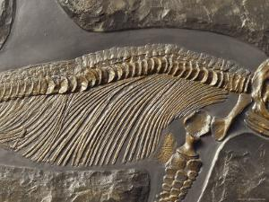 The Ribs and Spine of Ichthyosaur Fossil Stenopterygius Quadriscissus, Australia by Jason Edwards