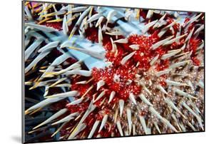 The Sharp Menacing Defensive Spines of a Crown-Of-Thorns Starfish by Jason Edwards