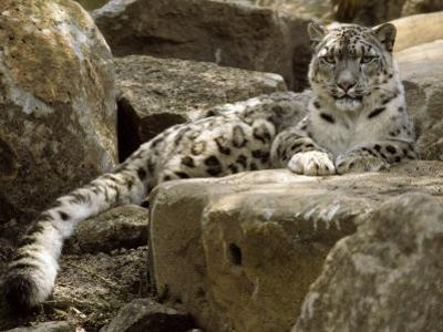 The Watchful Stare of a Snow Leopard Belies its Relaxed Appearance, Melbourne Zoo, Australia by Jason Edwards