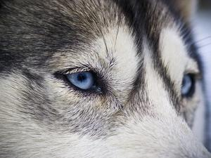 The Wolf-Like Stare of a Siberian Husky Sled Dog with Very Blue Eyes by Jason Edwards