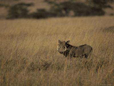 Warthog Portrait on Savannah Grassland with Large Tusks and Ears Alert, Serengetti, Tanzania