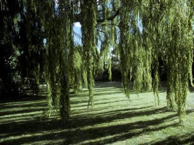Weeping Willow Casts Long, Cool Shadows Onto a Garden Lawn, Australia by Jason Edwards