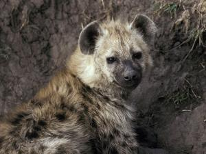 Young Spotted Hyena Pup Rests in the Shade of a River Bank by Jason Edwards