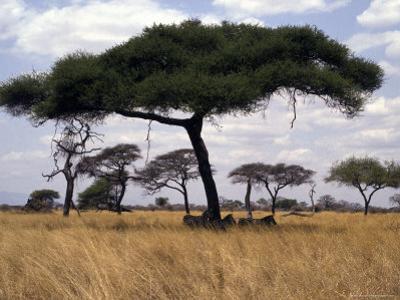 Zebra Shading Themselves under an Umbrella Acacia Tree by Jason Edwards
