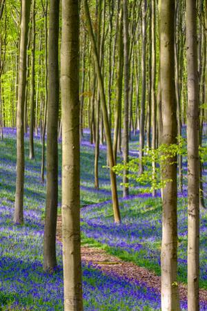 Bluebell flowers (Hyacinthoides non-scripta) carpet hardwood beech forest in early spring, Halle, V by Jason Langley