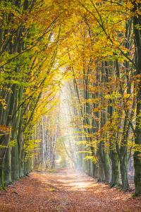 European Beech (Fagus sylvatica) forest Hoge Kempen National Park in autumn, Limburg, Vlaanderen (F by Jason Langley