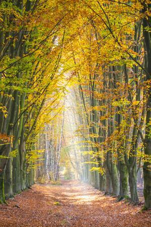 European Beech (Fagus sylvatica) forest Hoge Kempen National Park in autumn, Limburg, Vlaanderen (F