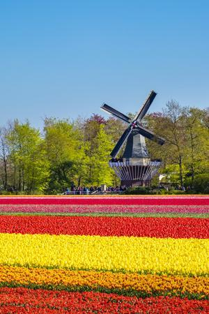 Netherlands, South Holland, Lisse. Dutch tulips flowers in a field in front of the Keukenhof windmi