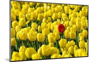Netherlands, South Holland, Nordwijkerhout. A single red tulip flower in a field of yellow tulips. by Jason Langley