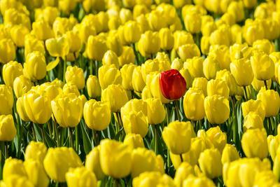 Netherlands, South Holland, Nordwijkerhout. A single red tulip flower in a field of yellow tulips.