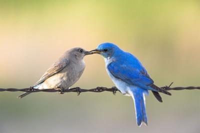 Bluebird Pair by Jason Savage