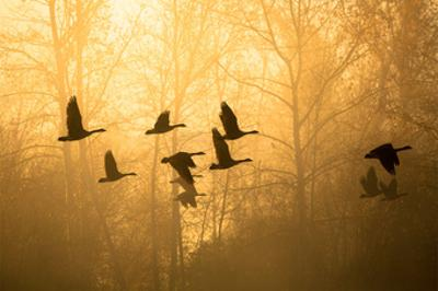 Geese in the Mist by Jason Savage