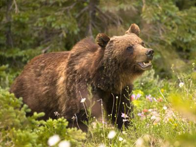 Grizzly Bear by Jason Savage