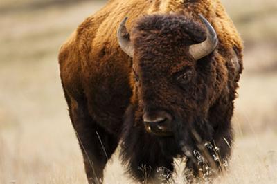 Montana Bison by Jason Savage