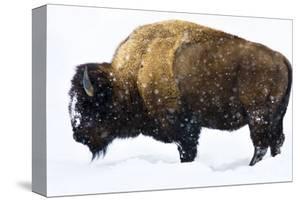 Winter Bison by Jason Savage