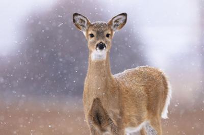 Winter White-tailed Deer by Jason Savage