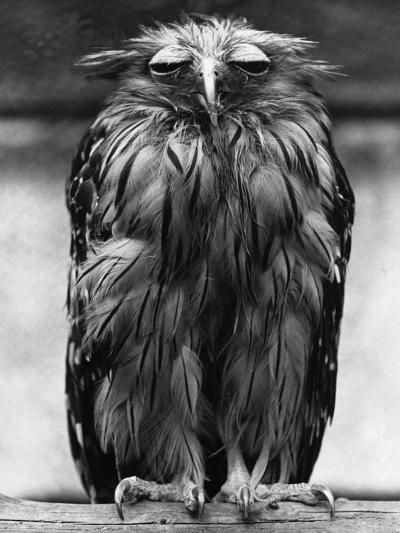 Javan Fish-Owl--Photographic Print
