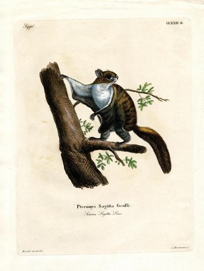 Javan Flying Squirrel--Giclee Print