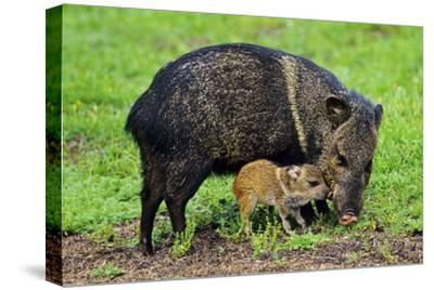 Javelina Mother with Young