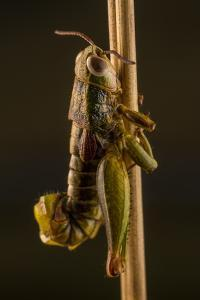 A Dead Grasshopper on a Twig by Javier Aznar