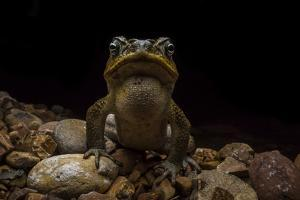 Cane Toad Male, Rhinella Marina, Vocalizing at Night by Javier Aznar
