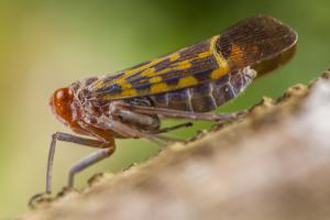 Close Up of a Fulgoridae, Feeding on the Sap of a Tree by Javier Aznar
