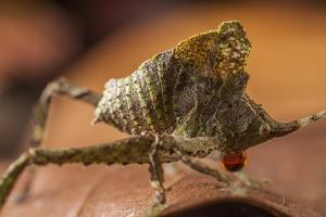 Close Up of a Leaf Mimicking Katydid Nymph in Defense Position by Javier Aznar