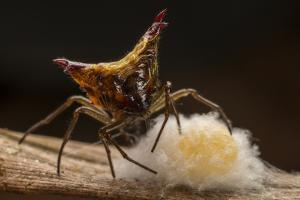 Close Up of a Micrathena Spider Constructing the Egg Sac with Silk by Javier Aznar