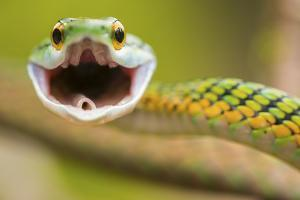 Close Up of a Parrotsnake, Leptophis Ahaetulla, in Defensive Position by Javier Aznar