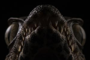 Close Up of the Head of a Black Caiman, Melanosuchus Niger by Javier Aznar