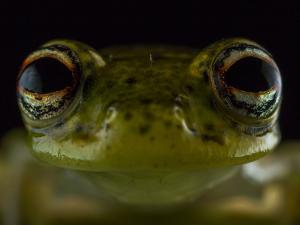 Close Up of the Head of a Chimerella Mariaelenae by Javier Aznar