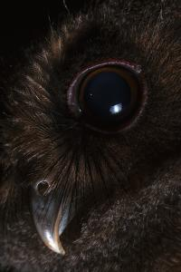 Close Up of the Head of a Juvenile of Tawny Bellied Screech Owl, Megascops Watsonii by Javier Aznar