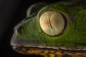 Close Up of the Head of a Monkey Tree Frog, Phyllomedusa Vaillantii by Javier Aznar