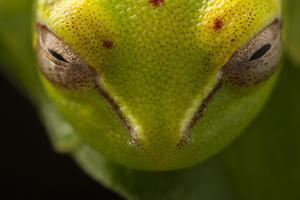 Close Up of the Head of a Palmar Treefrog, Hypsiboas Pellucens, Sleeping on a Leaf by Javier Aznar