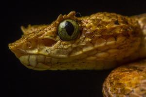 Close Up of the Head of an Eyelash Viper, Bothriechis Schlegelii by Javier Aznar