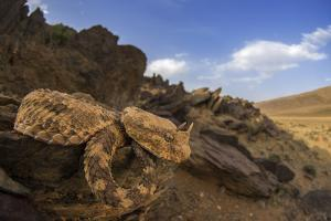 Desert Horned Viper, Cerastes Cerastes, Sleeping on a Rocky Wall by Javier Aznar