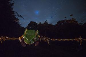 Ecuadorian Monkey Frog, Phyllomedusa Ecuatoriana, Resting on Barbed Wire at Night by Javier Aznar