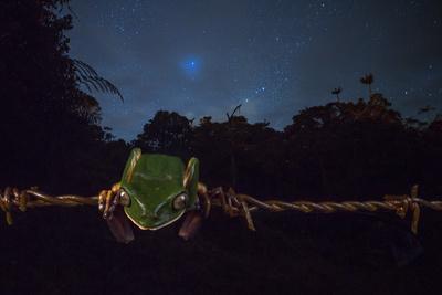 Ecuadorian Monkey Frog, Phyllomedusa Ecuatoriana, Resting on Barbed Wire at Night