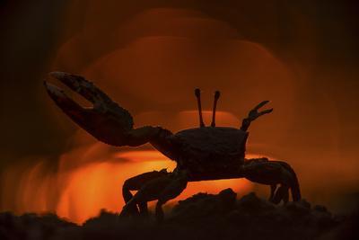 Fiddler Crab, Uca Species, Making a Display