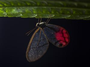 Glass Wing Butterfly, Ithomidae, Sleeping on a Leaf at Night by Javier Aznar