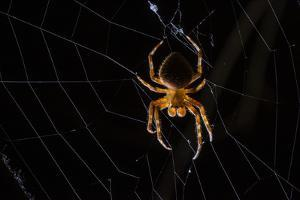 Male Spider on Web by Javier Aznar