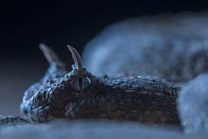 Portrait of a Desert Horned Viper, Cerastes Cerastes, Resting on the Sand by Javier Aznar