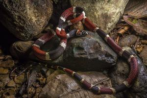 Portrait of a False Tree Coral Snake, Rhinobothryum Bovallii, on the Ground by Javier Aznar