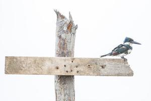 Portrait of a Green Kingfisher, Chloroceryle Americana, Perching on a Wooden Cross by Javier Aznar