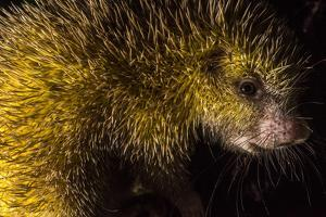 Portrait of a Kichwa Porcupine, Coendou Quichua, at Night by Javier Aznar