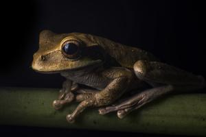 Portrait of a Masked Treefrog, Smilisca Phaeota, Resting on a Branch by Javier Aznar