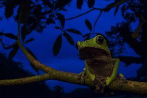 Portrait of a Monkey Tree Frog, Phyllomedusa Vaillanti, Resting on a Branch at Night by Javier Aznar