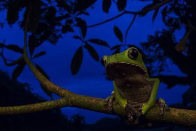 Portrait of a Monkey Tree Frog, Phyllomedusa Vaillanti, Resting on a Branch at Night